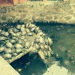 Turtles at the Jade Pagoda