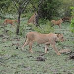 A pride of ~30 lions we watched all morning
