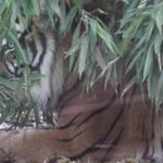 Hiding Tiger