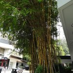 Bamboo Tree Across the street from hotel