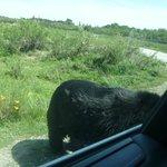 это настоящий медведь о нашу машину чешется