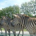 забор из зебр