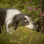 "The friendly sheep dog ""Bonnie"" - your garden tour guide"