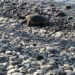 Turtle sunbathing on Honokeana Cove's rock beach