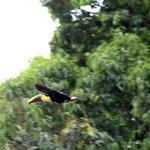 Tucan Flying by
