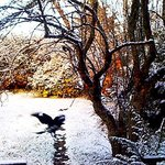 blackheath snow and Currawong in flight.. Anh'13