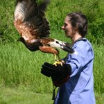 On a hawk walk with Paco, a Harris Hawk