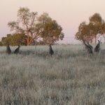 Kangaroos on the hill