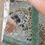 Patting jaguars in El Valle