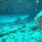 Ein schlafender Ammenhai