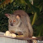 Thick tailed bushbaby at main house