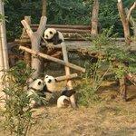 パンダの遊び