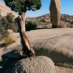 Juniper Tree near campsite 13 in Jumbo Rocks campground