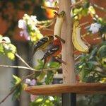 レストラン前の餌台には至近距離で野鳥が集まります。