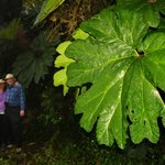 photo taken by Dr. Cruz of my brother & I by  ENORMOUS  Gunnera leaves in the Cloud Forests