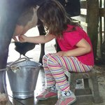 My daughter milking the hotel's cow.