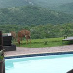 Nyala at the pool
