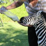 baby zebra bottled fed when rejected by his mum
