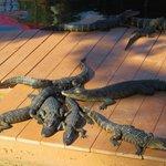 Cute Alligators you can Feed