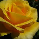 Gold and Glory rose in the Lodge garden