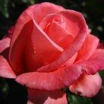 Aotearoa rose growing in the Lodge gardens