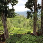 Surrounding Tea Plantations