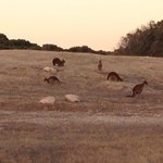 kangaroos outside our cottage