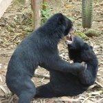 Asian Black Bears Playfighting