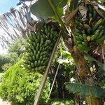 The tasty bananas in the garden
