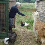 Feeding alpacas & chickens