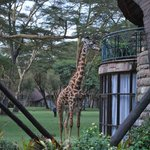 Giraffe looking into the window of a 'cottage'