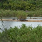 Hippos in river in front of room