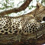 Leopard in Tarangire National Park
