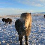 Icelandic Horses - so lovely