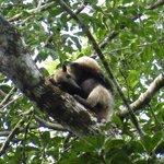 Tamandua - Anteater