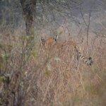 My tiger sighting