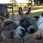 The Darling Donkeys meeting our Dog