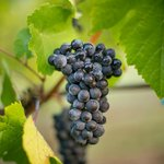 Pinot Noir fruit just a few days before picking