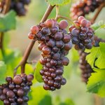 Pinot Gris grapes ready to harvest