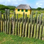 Fence of cactus plants. There are many cacti in North Island