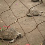 Tortoises in the sanctuary