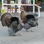 Local Turkeys Wandering The Street!
