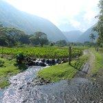 Taro Farming In The Valley