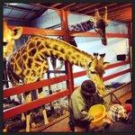 Giraffe feeding time £1 for carrots