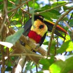 aracari near dominical