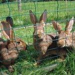 Les jolis lapins de Ty Puns petite ferme