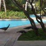 Peacocks at the resort