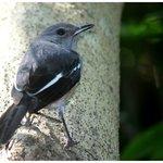 Oriental Magpie Robin (female)