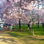 Cherry blossom at the Basin