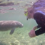Yours truly, swimming with a baby mannatee introduced by Captain Broderick.